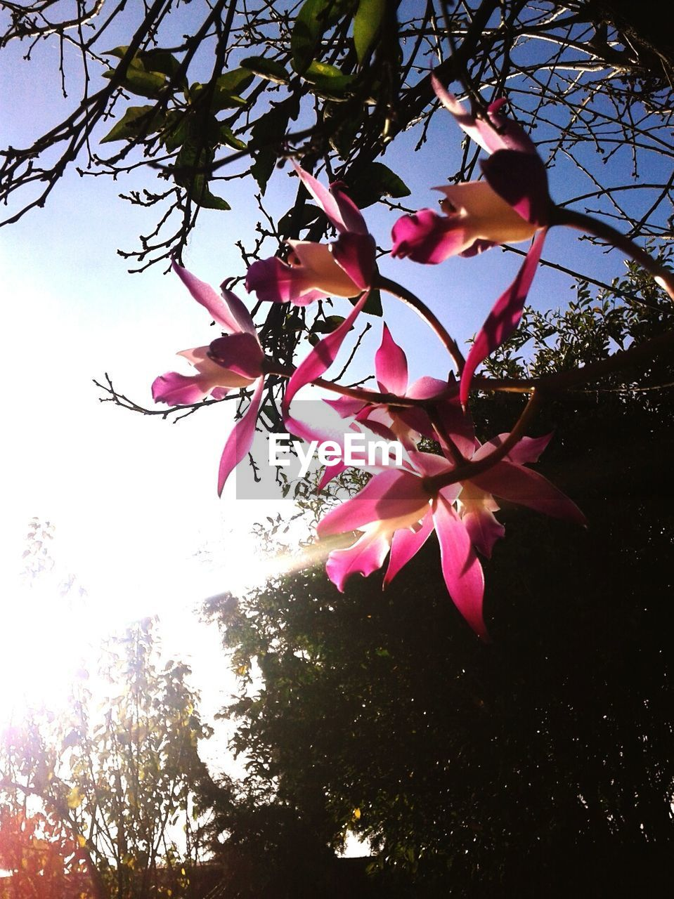 flower, tree, beauty in nature, growth, low angle view, nature, petal, fragility, branch, pink color, magnolia, no people, blossom, freshness, day, outdoors, blooming, springtime, flower head, leaf, close-up, sky, bougainvillea