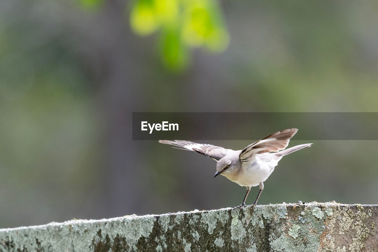 animal themes, bird, animal, vertebrate, animal wildlife, animals in the wild, one animal, focus on foreground, day, perching, no people, close-up, nature, outdoors, sunlight, full length, zoology, selective focus, solid, side view, mouth open