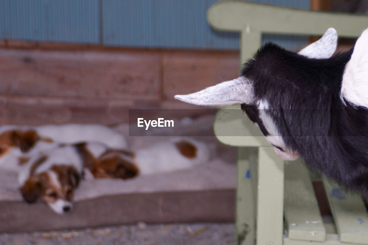Close-up of goat and dogs at farm