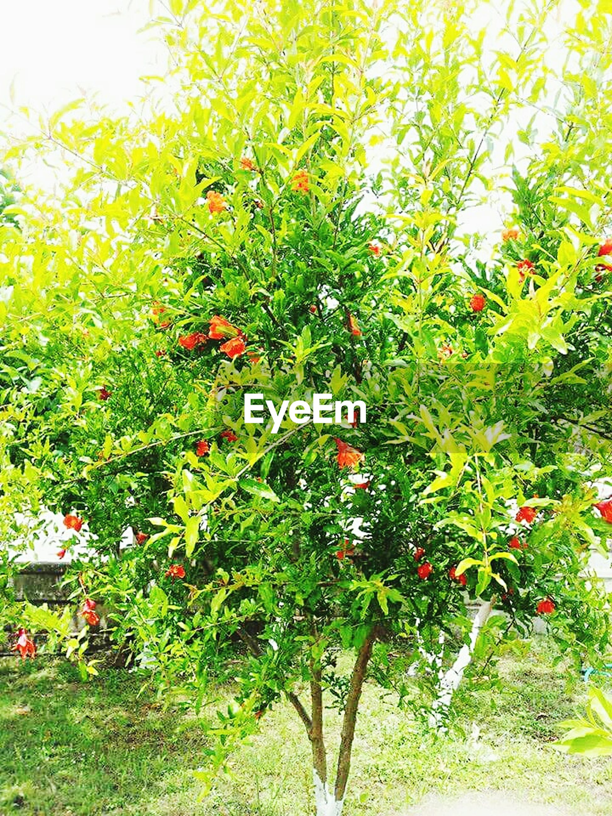 fruit, growth, food and drink, tree, green color, freshness, food, healthy eating, branch, nature, leaf, agriculture, plant, growing, ripe, red, beauty in nature, day, sunlight, vineyard