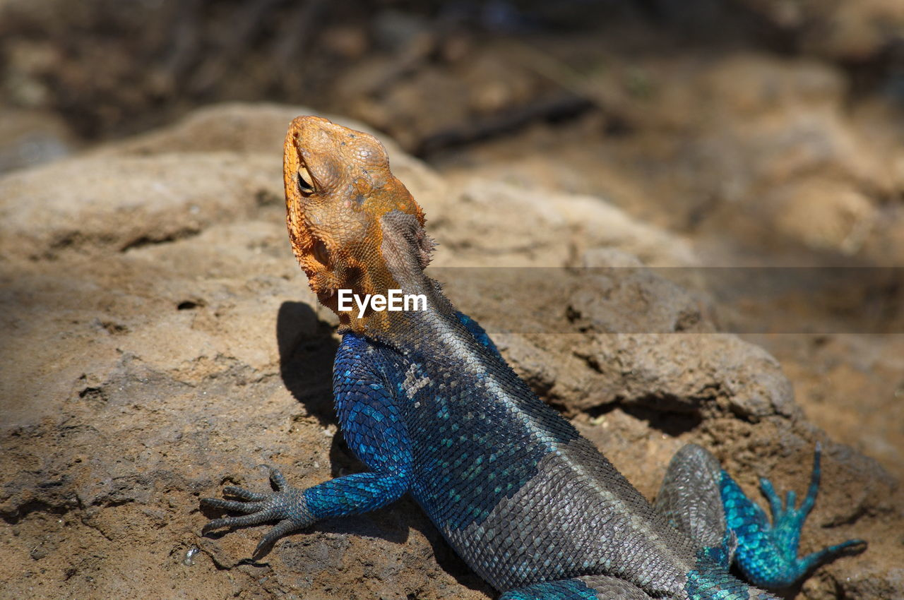 Close-up of agama on rock