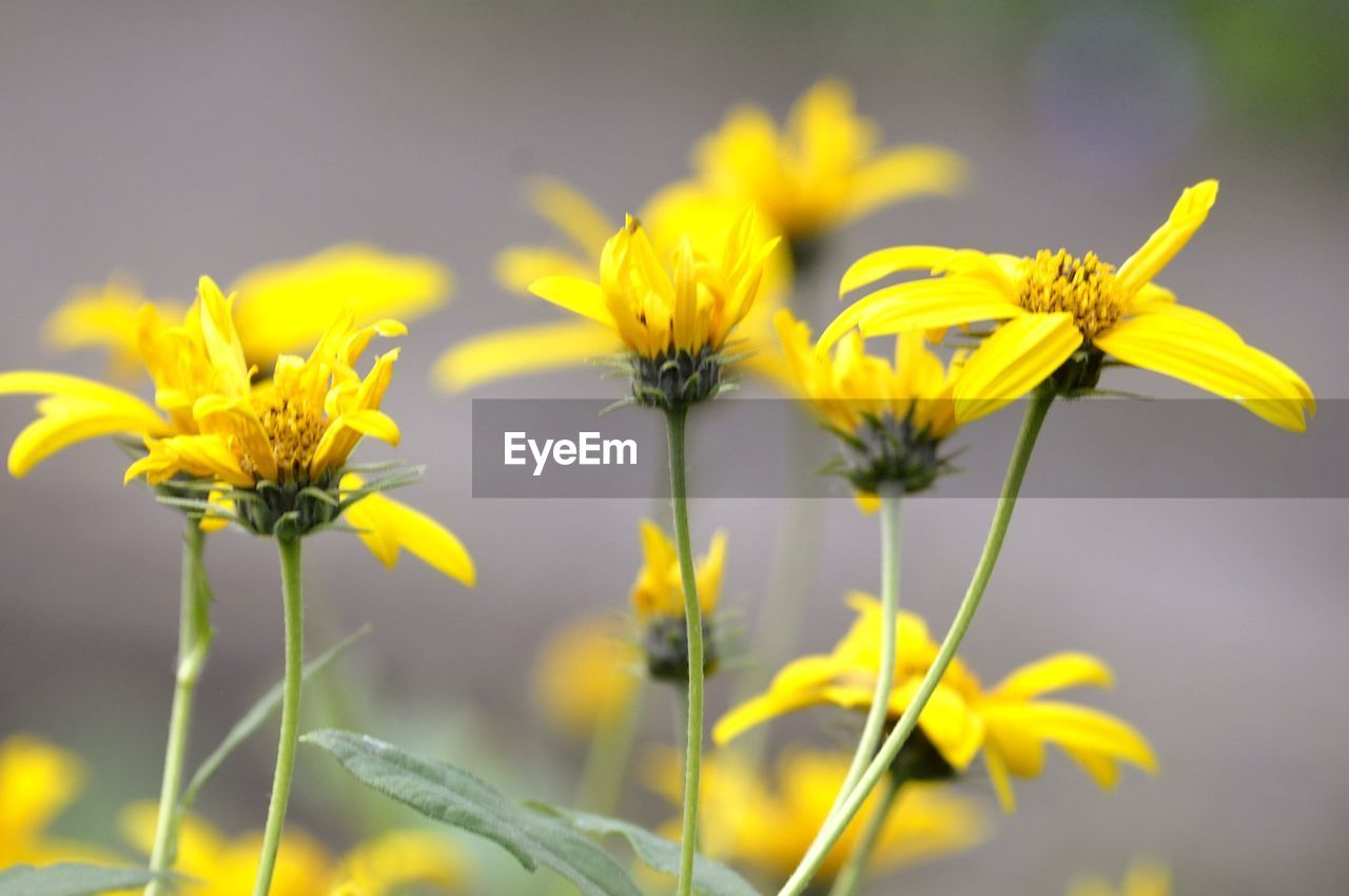 flower, flowering plant, yellow, plant, fragility, freshness, beauty in nature, vulnerability, growth, close-up, petal, flower head, nature, inflorescence, focus on foreground, no people, day, plant stem, land, field, outdoors, sepal
