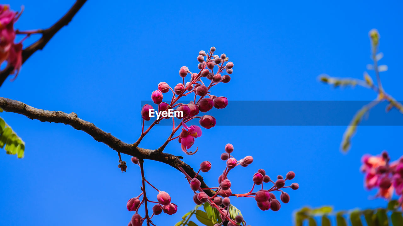 LOW ANGLE VIEW OF RED BERRIES ON TREE AGAINST BLUE SKY