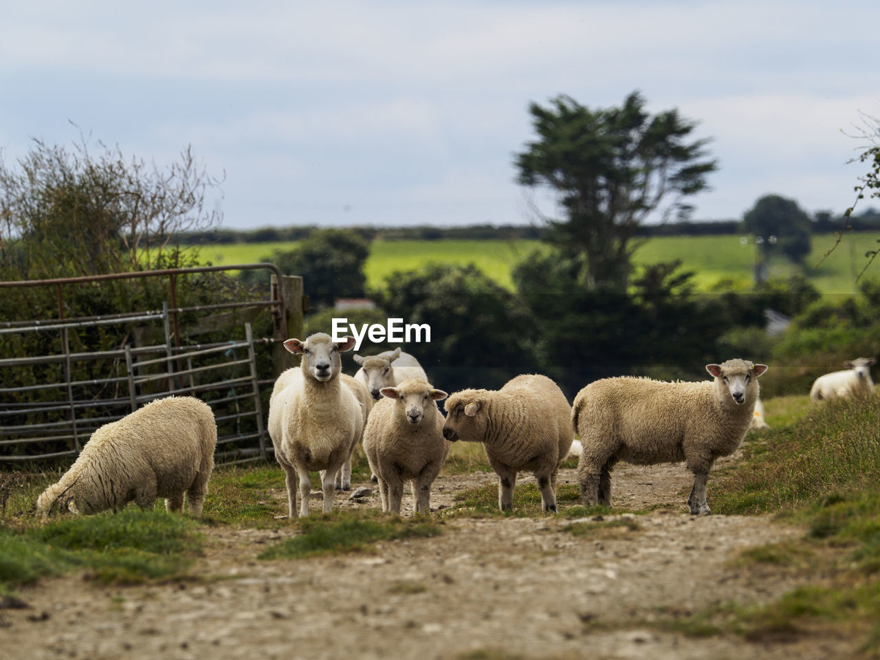 domestic animals, livestock, animal themes, mammal, field, nature, no people, sheep, day, outdoors, flock of sheep, grass, young animal, large group of animals, togetherness, sky, beauty in nature, tree