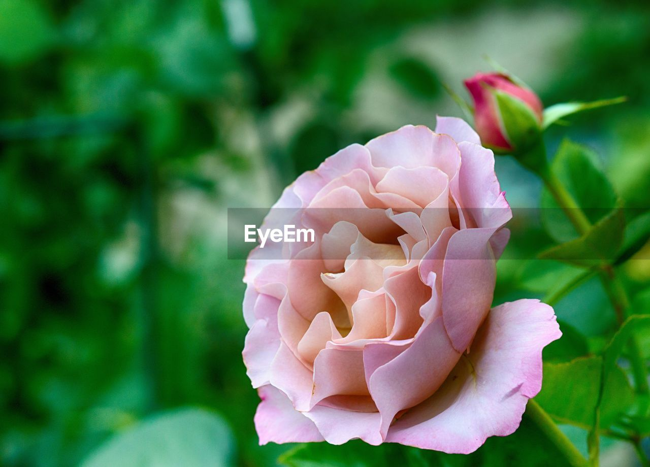 petal, flower, beauty in nature, fragility, flower head, nature, growth, freshness, focus on foreground, blooming, plant, no people, day, close-up, outdoors, pink color