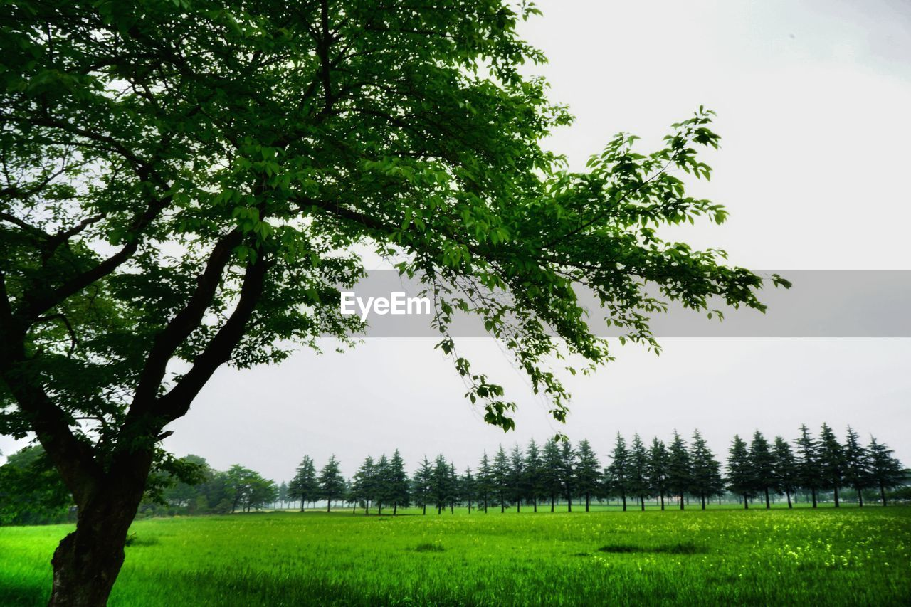 tree, growth, nature, field, green color, beauty in nature, tranquility, landscape, scenics, tranquil scene, grass, no people, outdoors, branch, day, agriculture, sky, plant, rural scene, clear sky