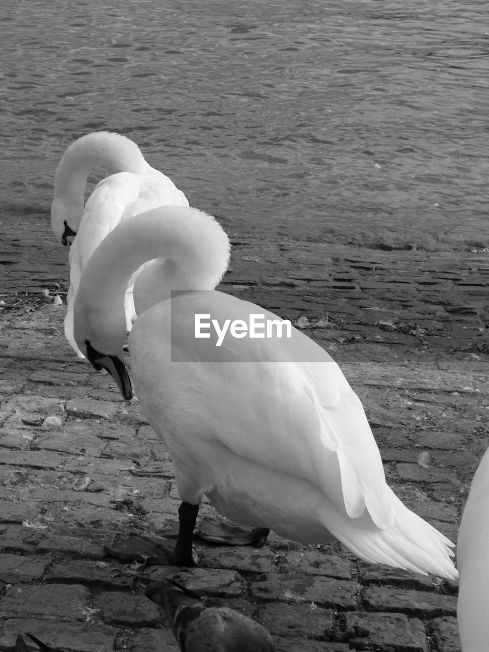 bird, animals in the wild, animal themes, white color, one animal, animal wildlife, swan, lake, water, beak, nature, no people, day, outdoors, close-up, beauty in nature
