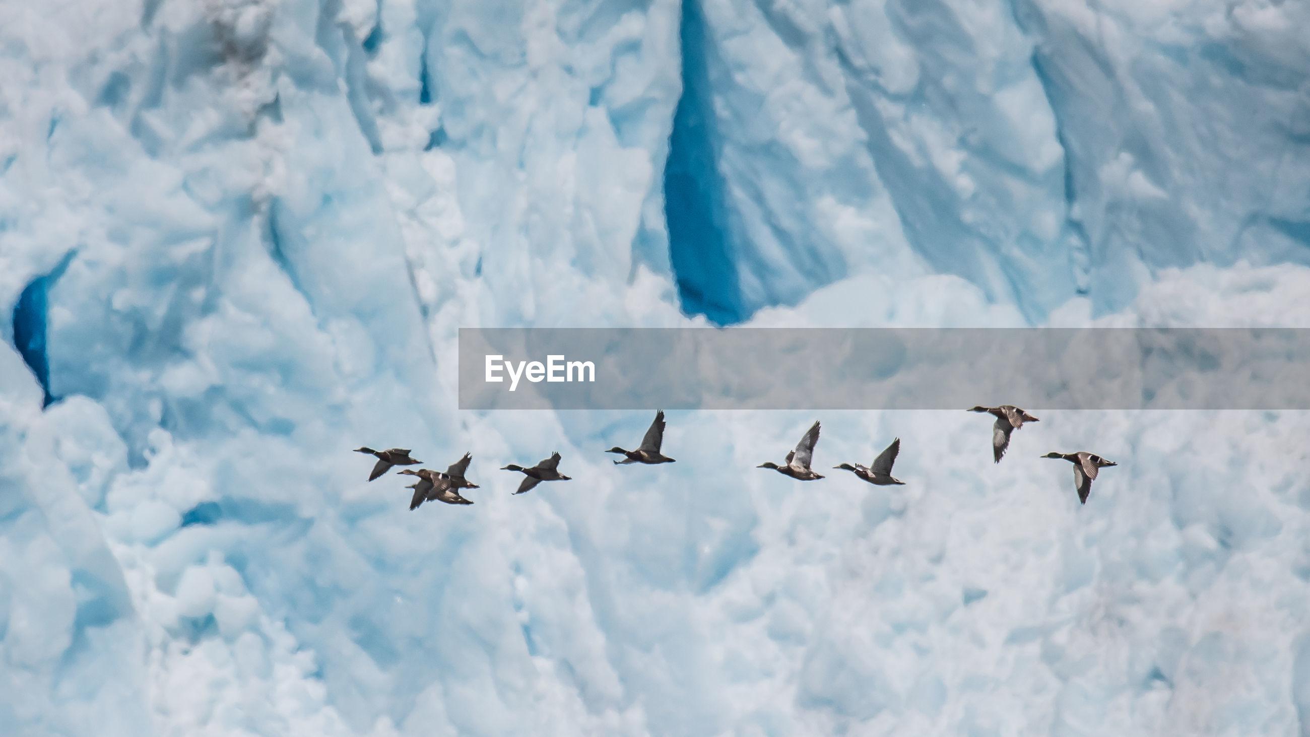 Ducks flying against glacier