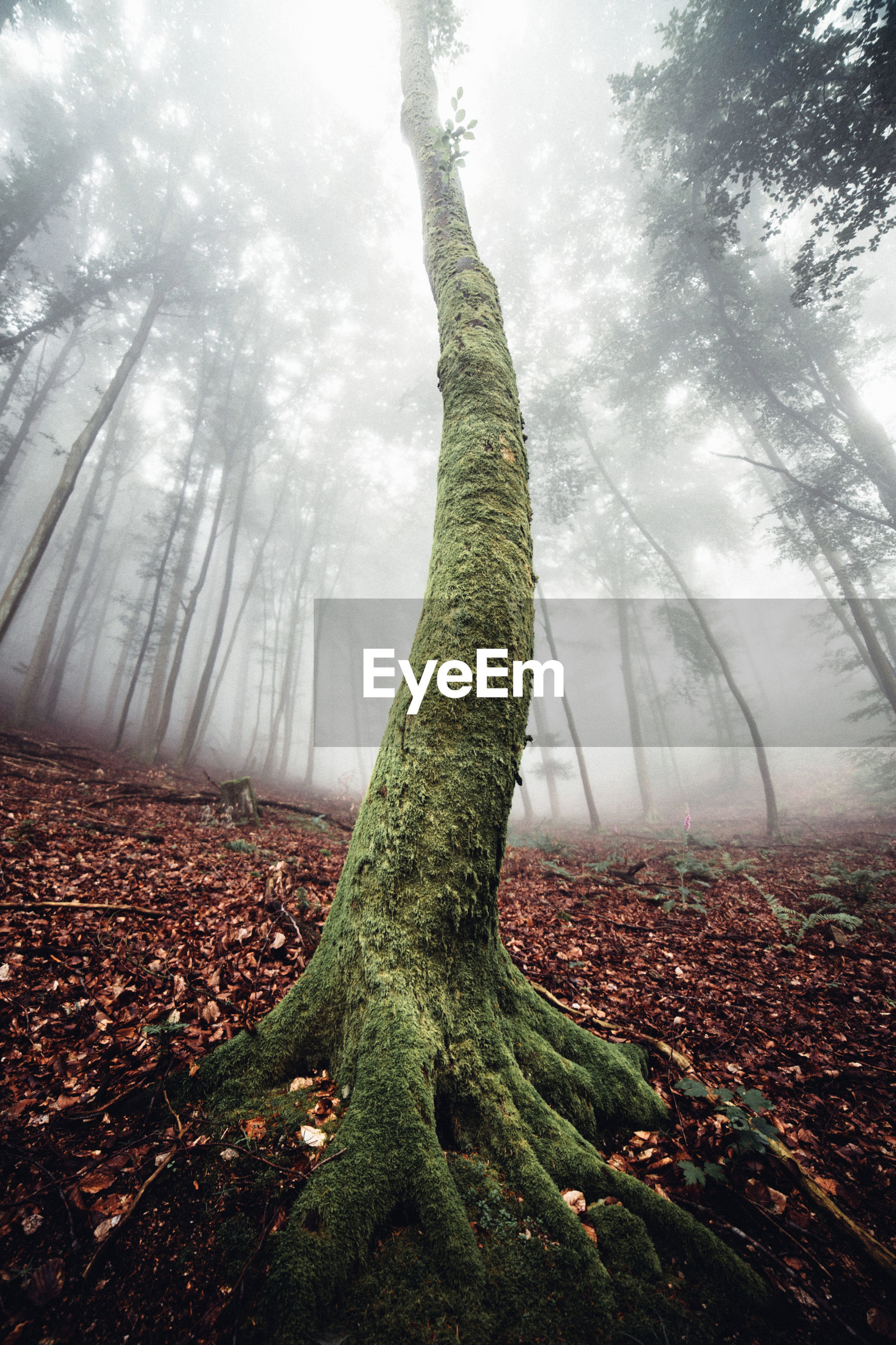 Tree trunk in forest during foggy weather