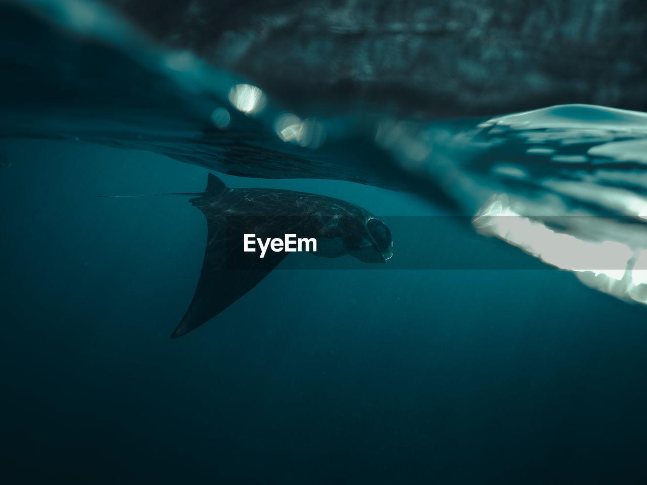 underwater, sea, water, swimming, animal, animals in the wild, animal wildlife, animal themes, sea life, vertebrate, marine, undersea, one animal, fish, nature, aquatic mammal, mammal, sport, outdoors, underwater diving