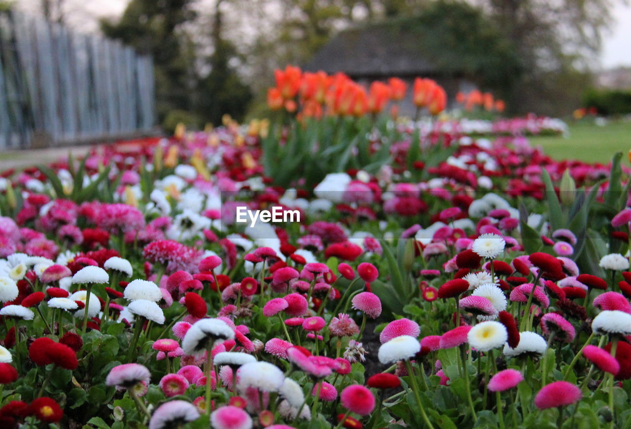 flower, flowering plant, plant, growth, freshness, beauty in nature, vulnerability, fragility, close-up, day, selective focus, nature, no people, petal, front or back yard, inflorescence, park, flower head, springtime, field, outdoors, flowerbed, purple