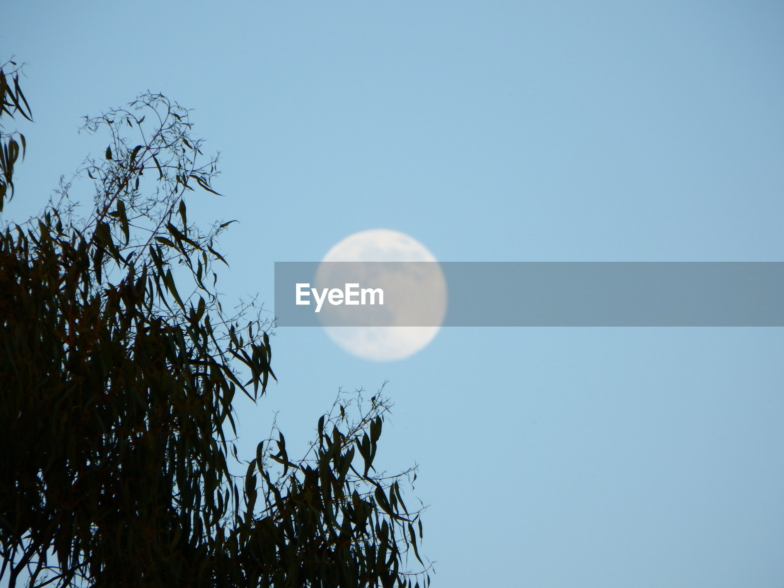 Low angle view of tree and moon