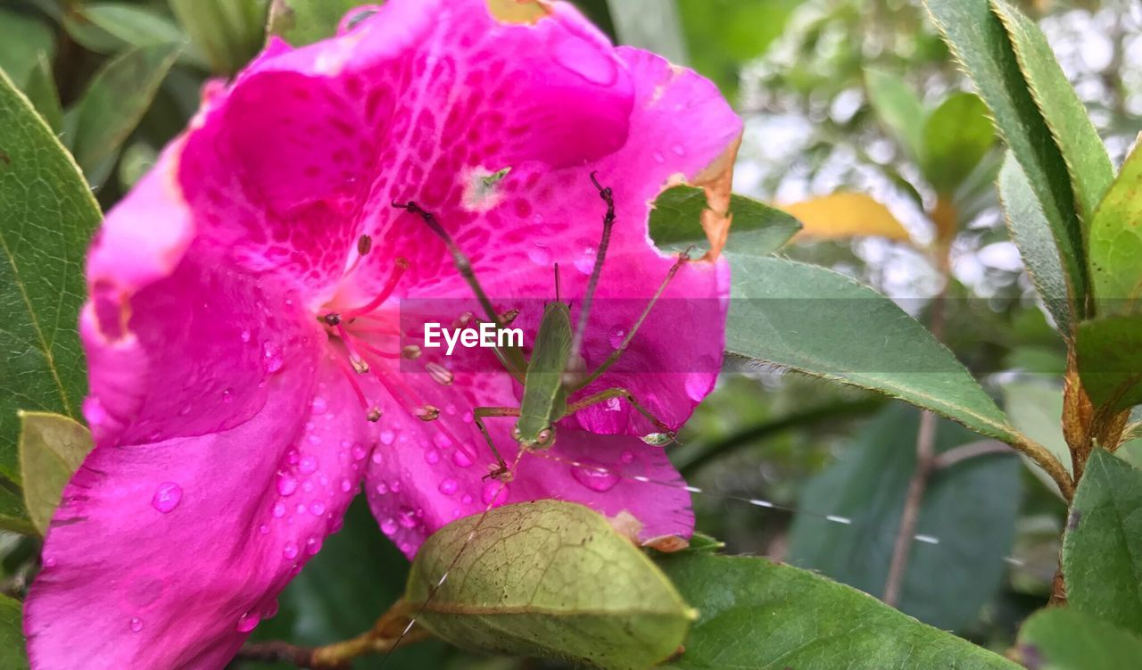 fragility, growth, pink color, leaf, nature, beauty in nature, drop, freshness, flower, petal, day, close-up, plant, wet, outdoors, flower head, water, no people, raindrop