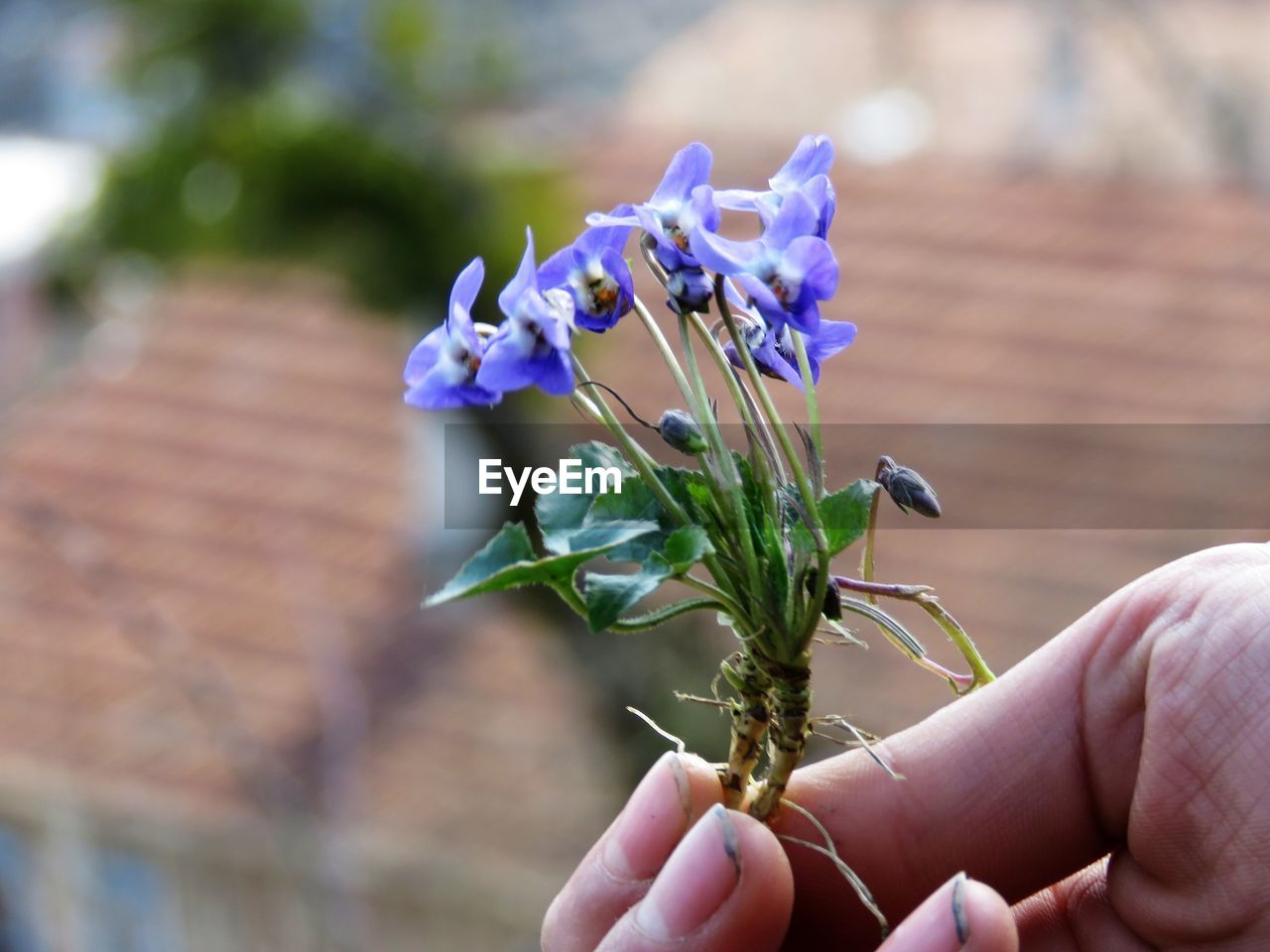 human hand, hand, human body part, flower, flowering plant, real people, plant, body part, holding, close-up, focus on foreground, nature, unrecognizable person, day, human finger, finger, fragility, vulnerability, one person, beauty in nature, outdoors, purple, flower head
