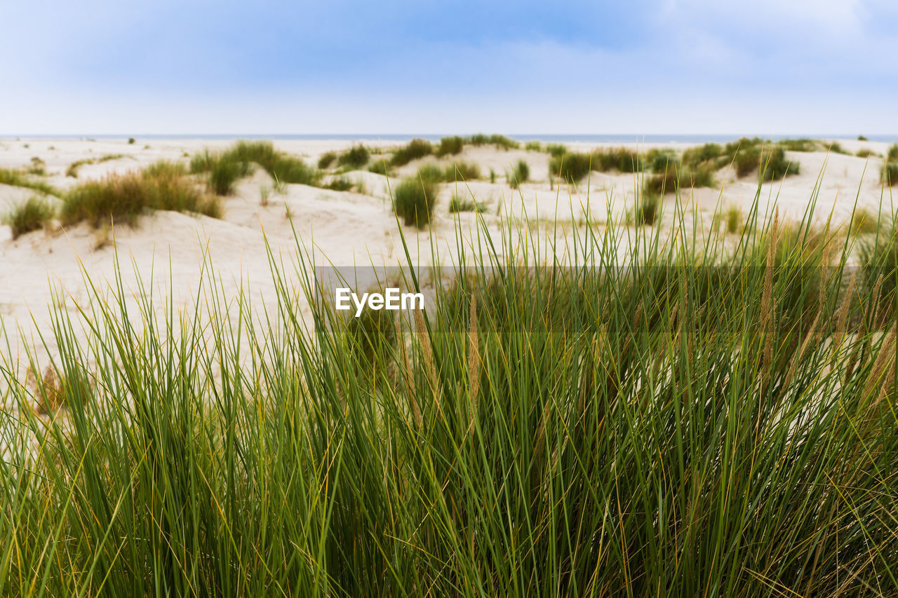 Close-Up Of Wheat Growing On Beach Against Sky