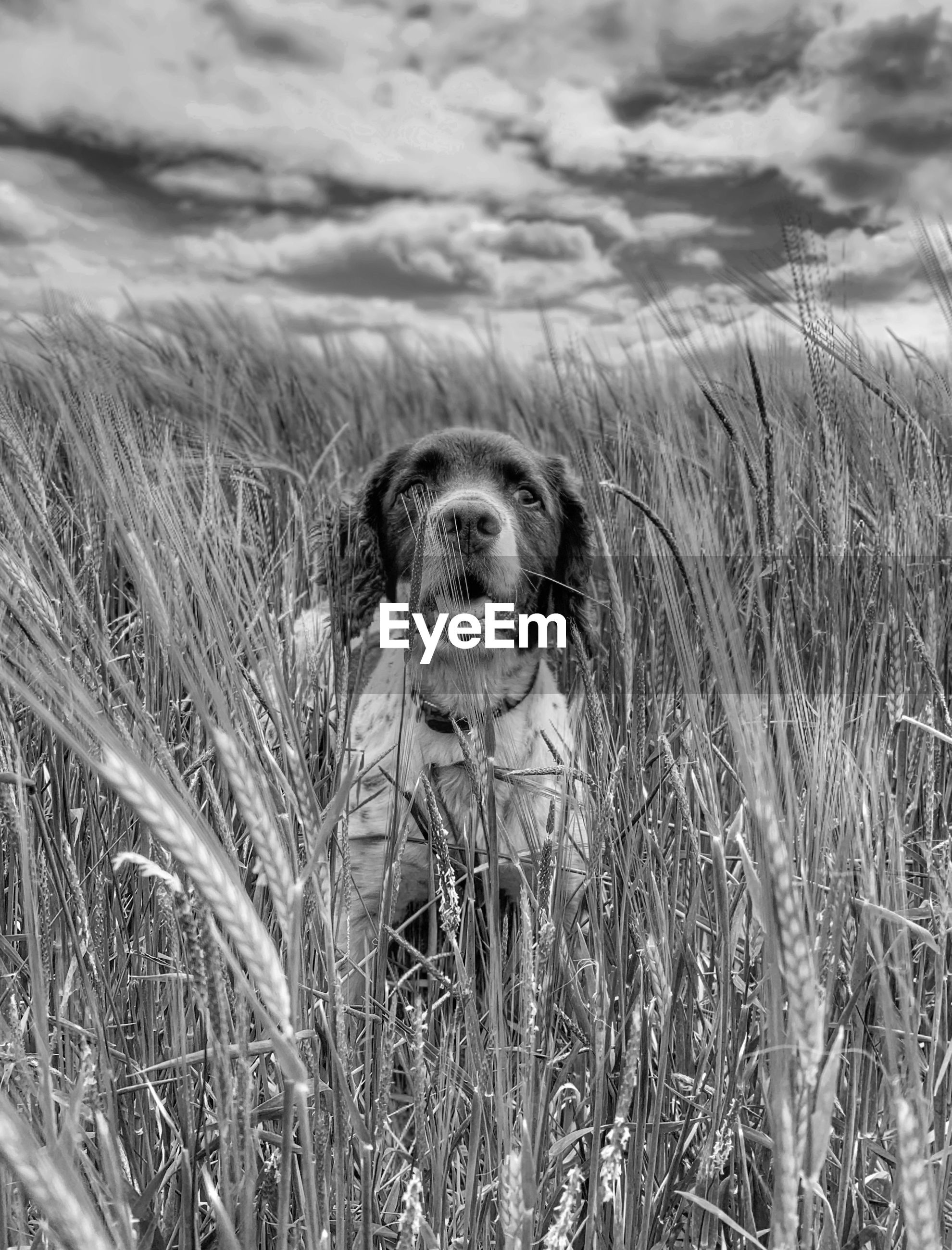 one animal, animal themes, mammal, grass, animal, canine, dog, plant, pets, nature, domestic, domestic animals, field, vertebrate, day, cloud - sky, land, no people, sky, portrait, outdoors, animal head