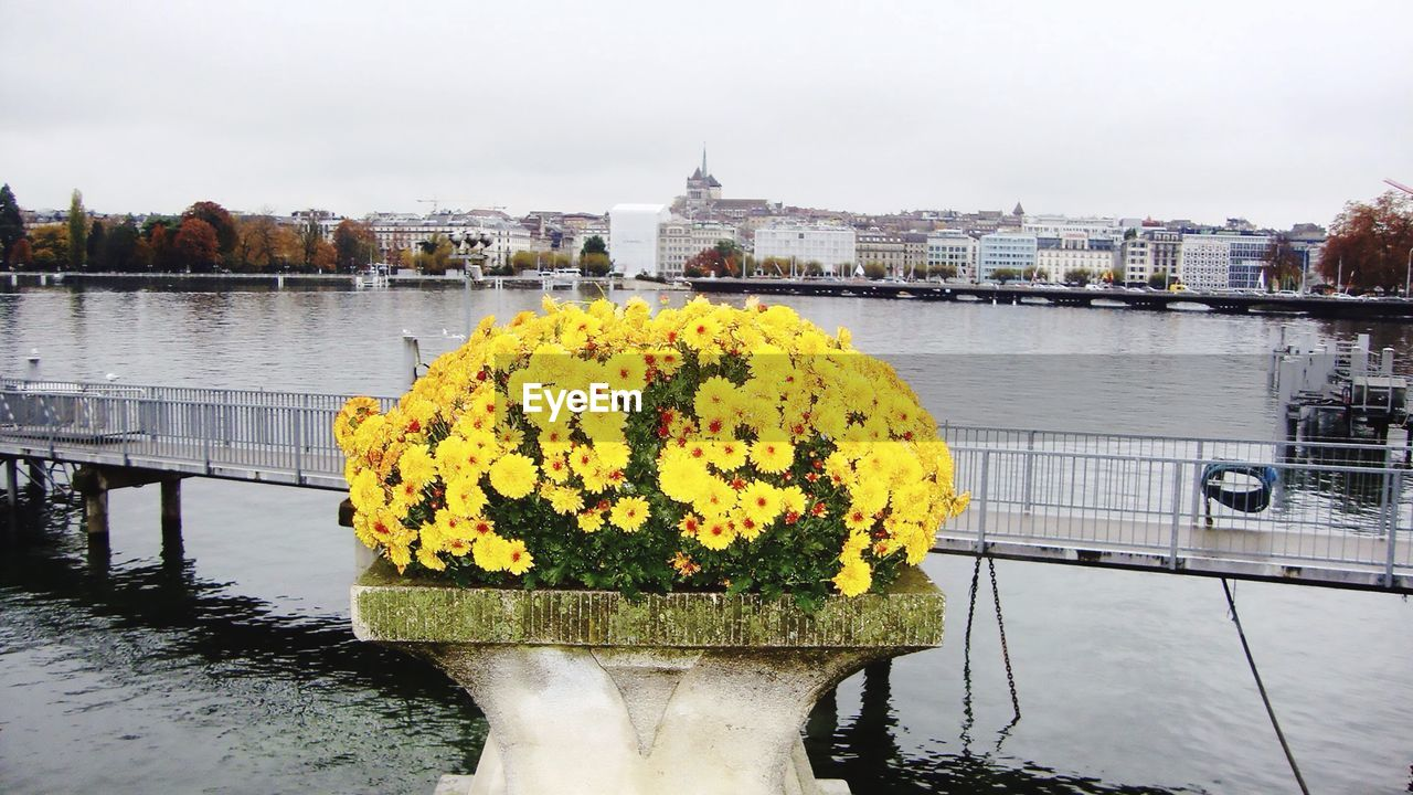 Yellow flowers blooming by bridge over river in city