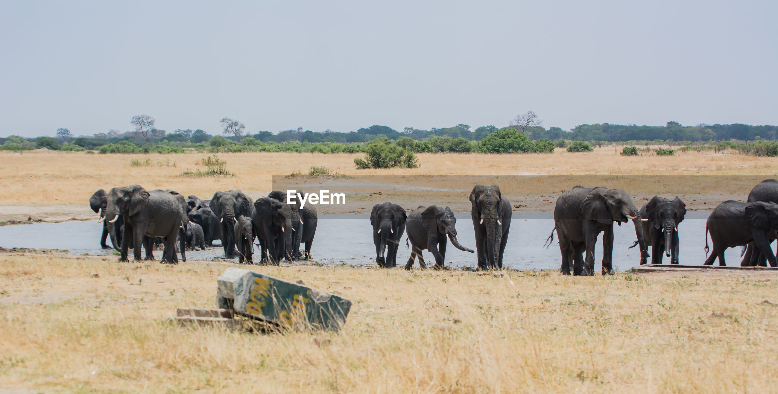 Elephants by river