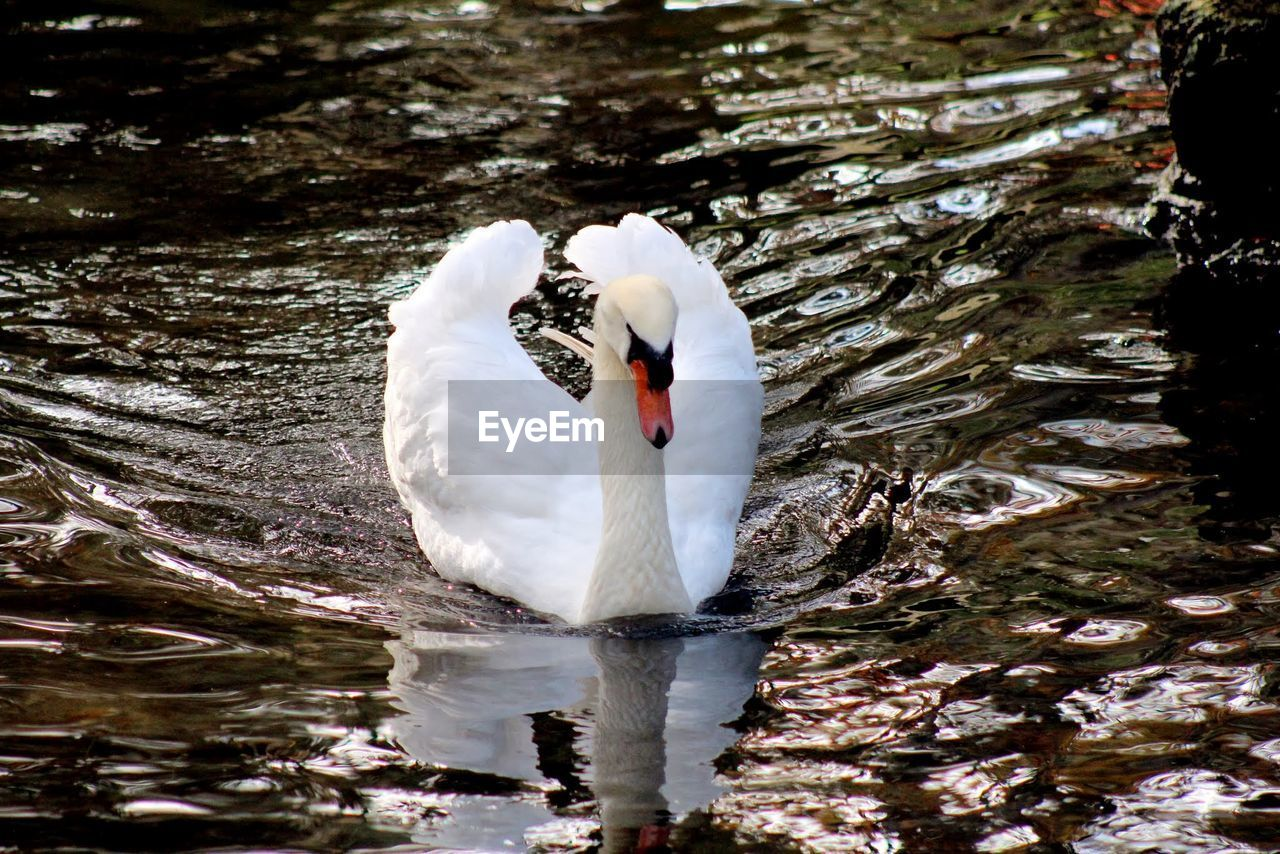 animals in the wild, animal themes, one animal, water, white color, lake, reflection, swan, swimming, nature, bird, day, waterfront, animal wildlife, no people, outdoors, close-up