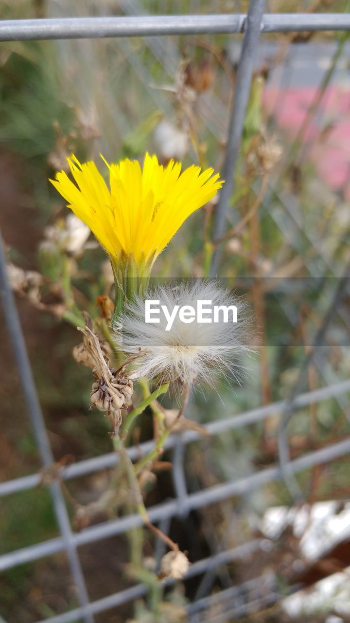 flower, fragility, nature, growth, beauty in nature, plant, dandelion, freshness, flower head, no people, close-up, day, outdoors, yellow