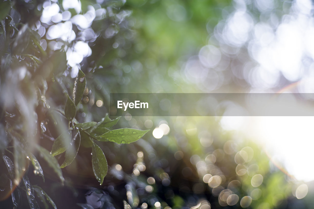 growth, plant, selective focus, close-up, leaf, beauty in nature, plant part, nature, no people, wet, day, focus on foreground, drop, lens flare, green color, sunlight, water, outdoors, freshness, leaves, dew, purity, raindrop