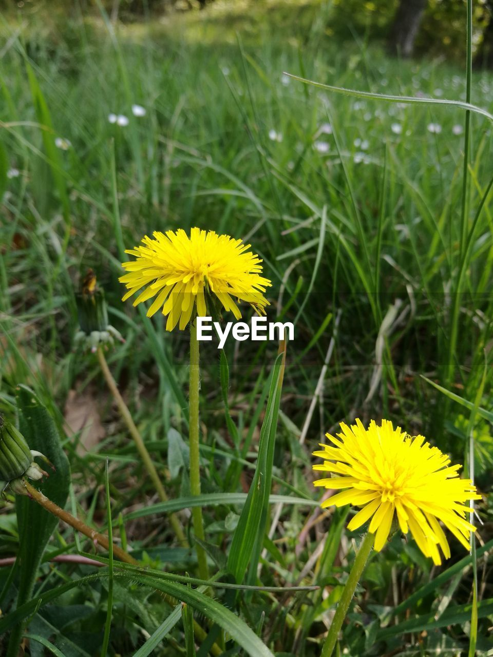 flower, yellow, growth, field, beauty in nature, fragility, petal, nature, freshness, flower head, plant, blooming, no people, outdoors, green color, close-up, grass, day, springtime, crocus