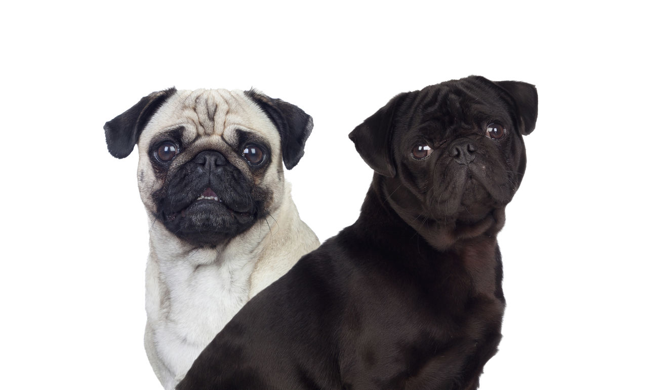 mammal, domestic animals, animal themes, pets, canine, dog, animal, domestic, one animal, studio shot, pug, vertebrate, indoors, lap dog, portrait, young animal, looking at camera, no people, small