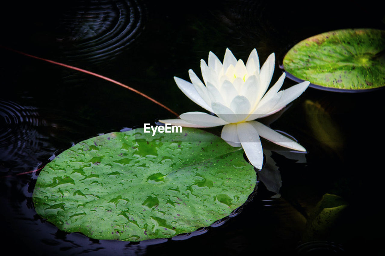 freshness, water lily, flower, water, leaf, lily pad, floating on water, lotus water lily, nature, beauty in nature, lake, high angle view, petal, plant, no people, growth, close-up, day, flower head, fragility, outdoors, black background