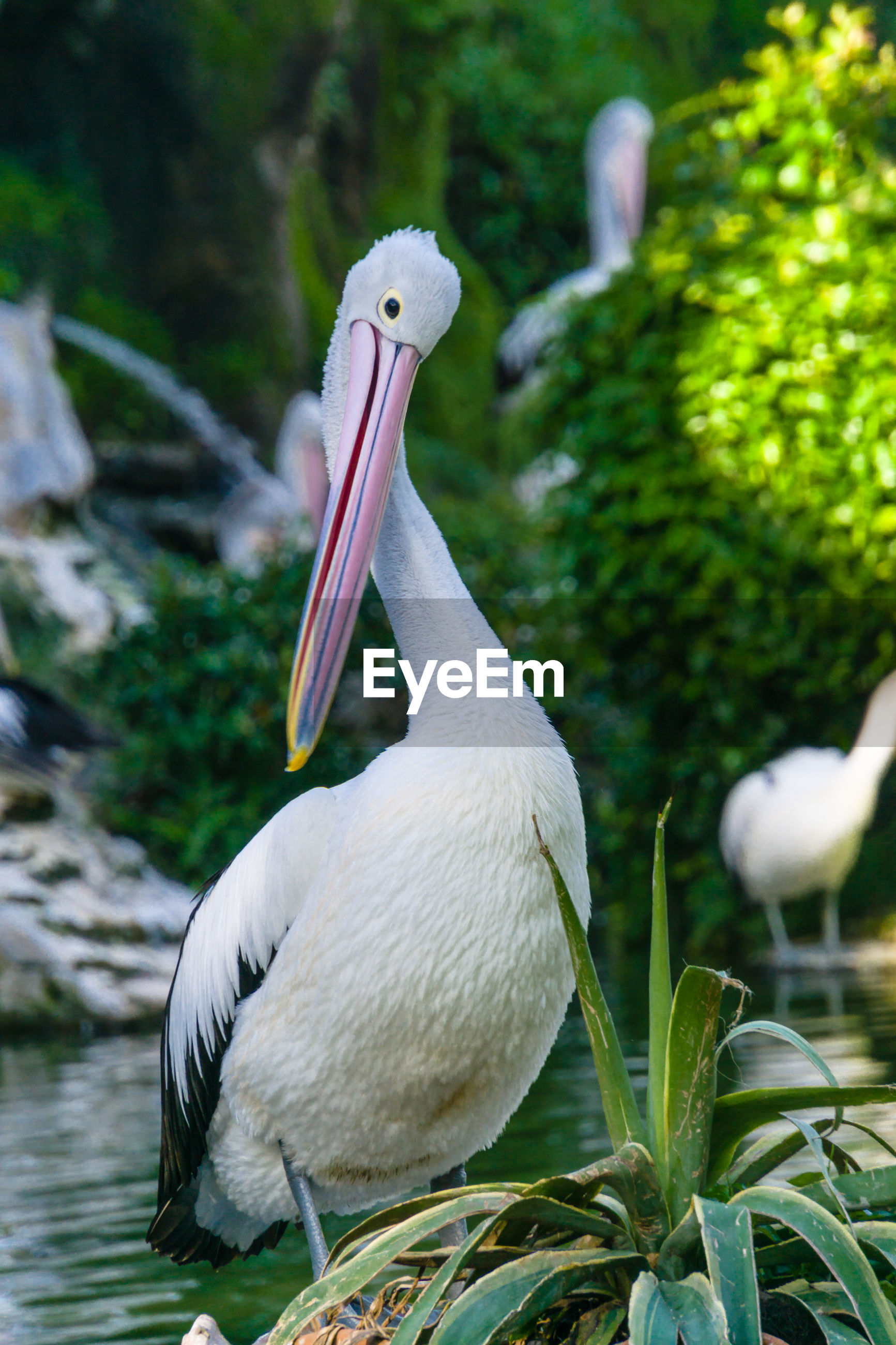Close-up of pelican on a lake