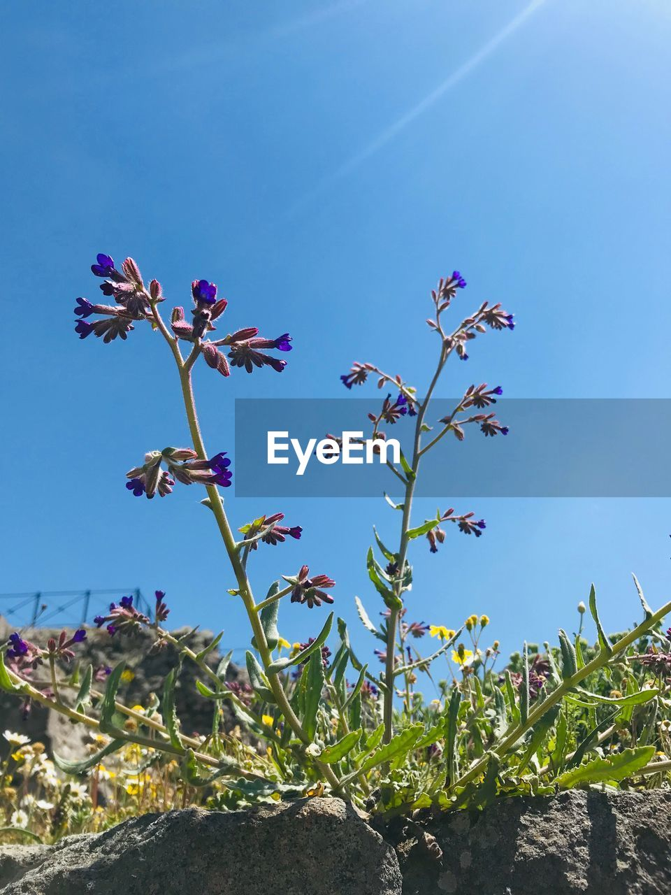 plant, growth, flowering plant, flower, beauty in nature, sky, blue, nature, fragility, vulnerability, day, freshness, no people, sunlight, clear sky, low angle view, close-up, outdoors, pink color, petal, flower head, purple