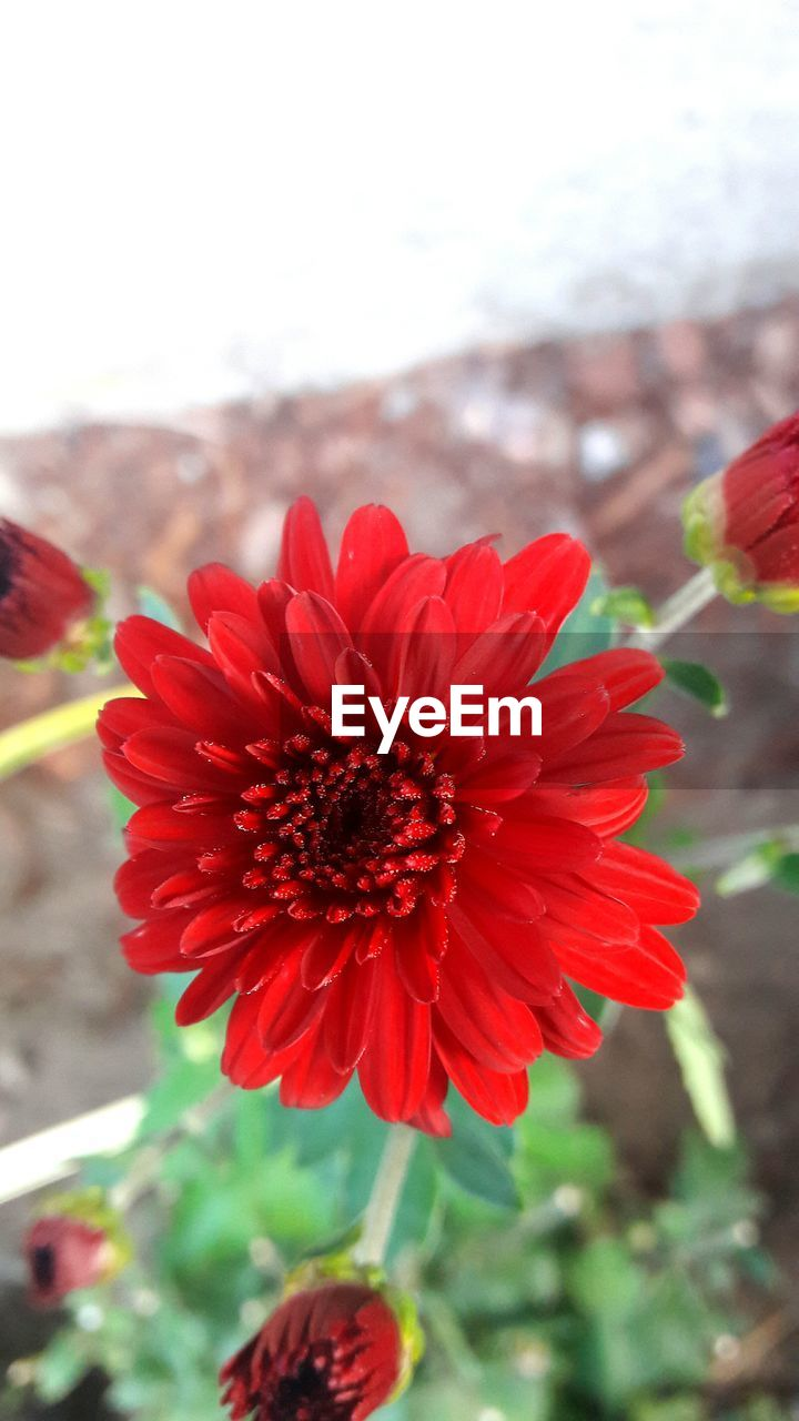 flower, nature, beauty in nature, red, petal, fragility, freshness, growth, focus on foreground, plant, flower head, blooming, outdoors, close-up, day, no people