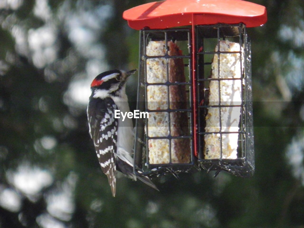 bird, vertebrate, animal, bird feeder, animal themes, animal wildlife, focus on foreground, animals in the wild, one animal, woodpecker, day, perching, no people, food, outdoors, close-up, food and drink, tree, nature, eating