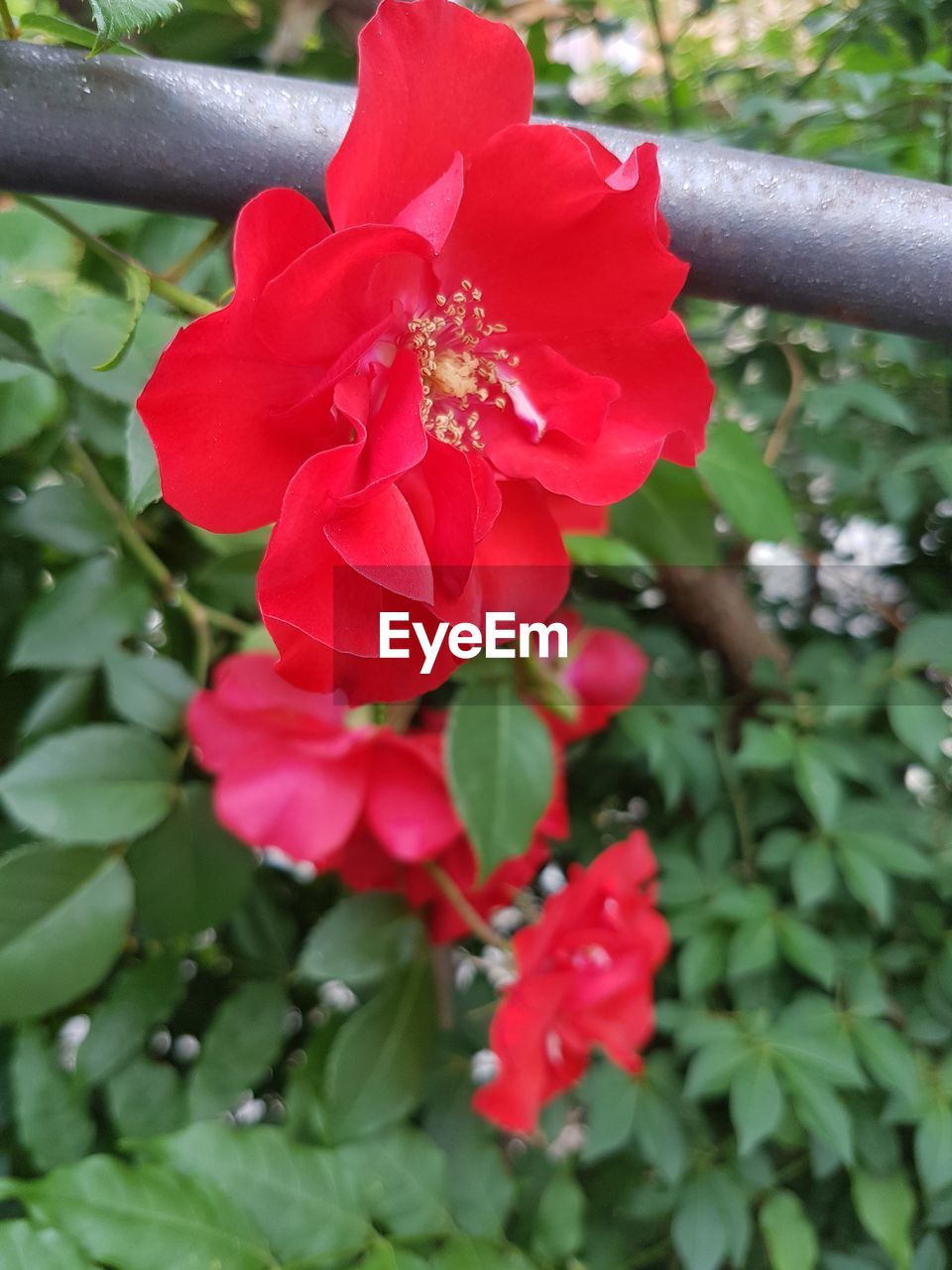 flower, flowering plant, plant, beauty in nature, freshness, growth, fragility, petal, vulnerability, close-up, flower head, inflorescence, day, nature, no people, red, plant part, leaf, outdoors, green color