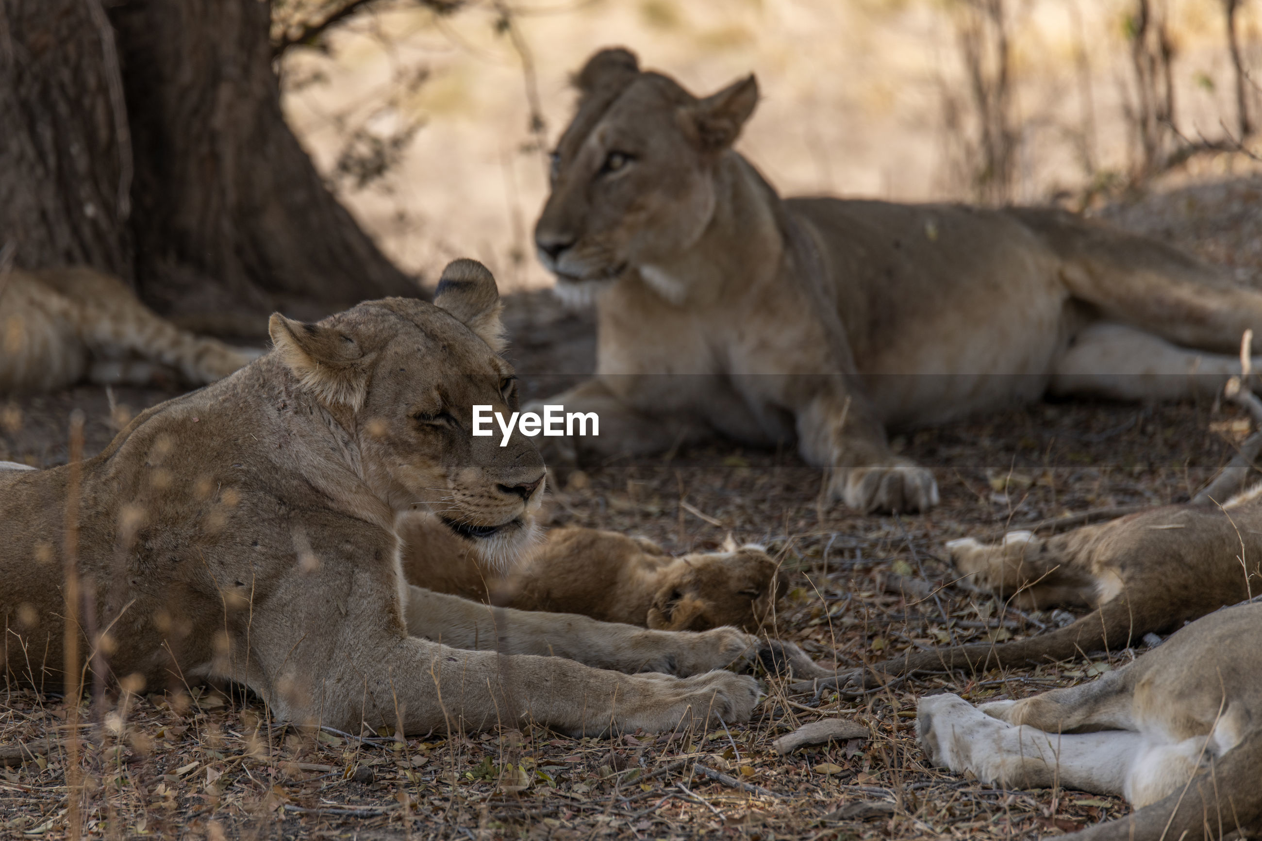 Lion family on field in forest