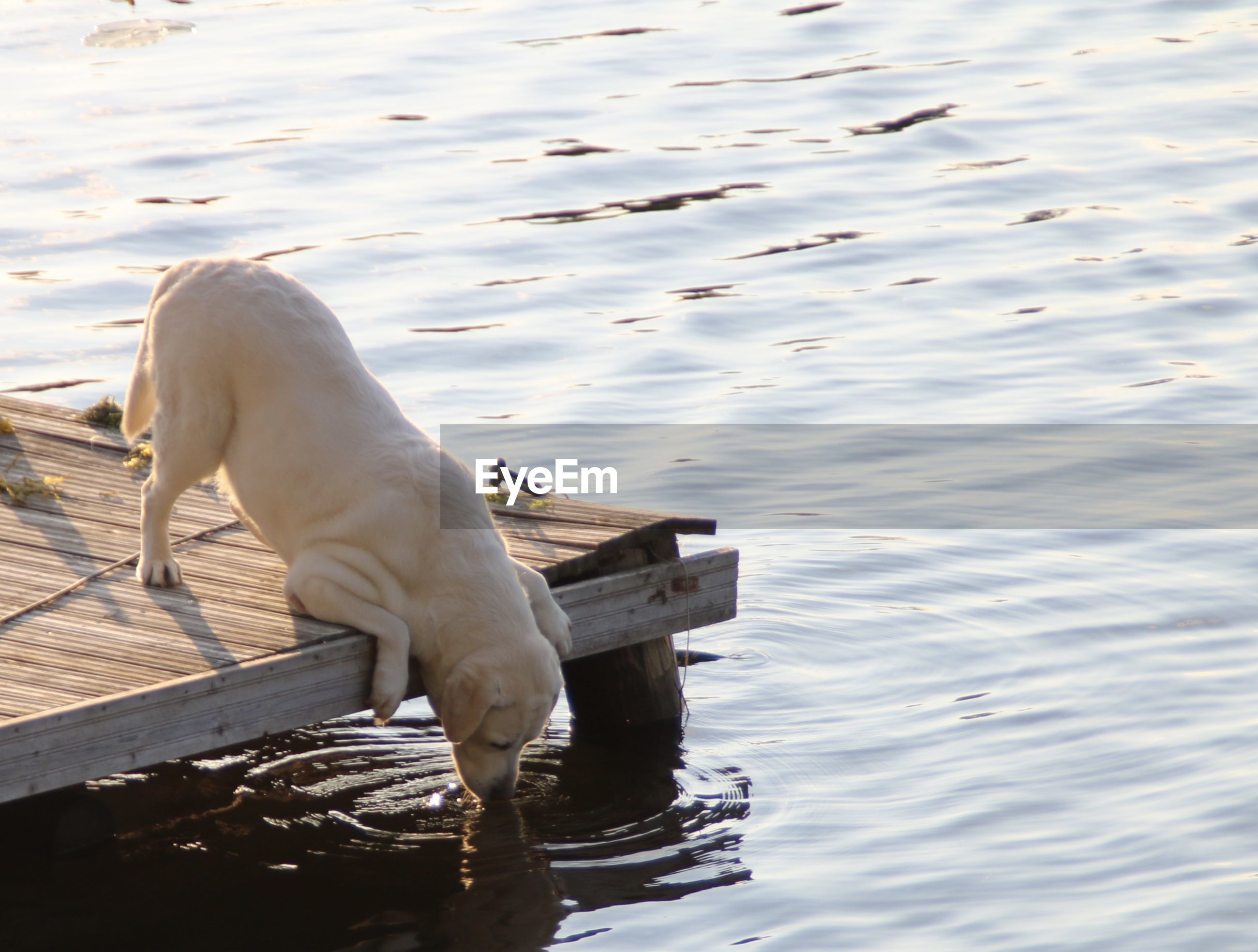 Dog drinking water off the edge of a jetty