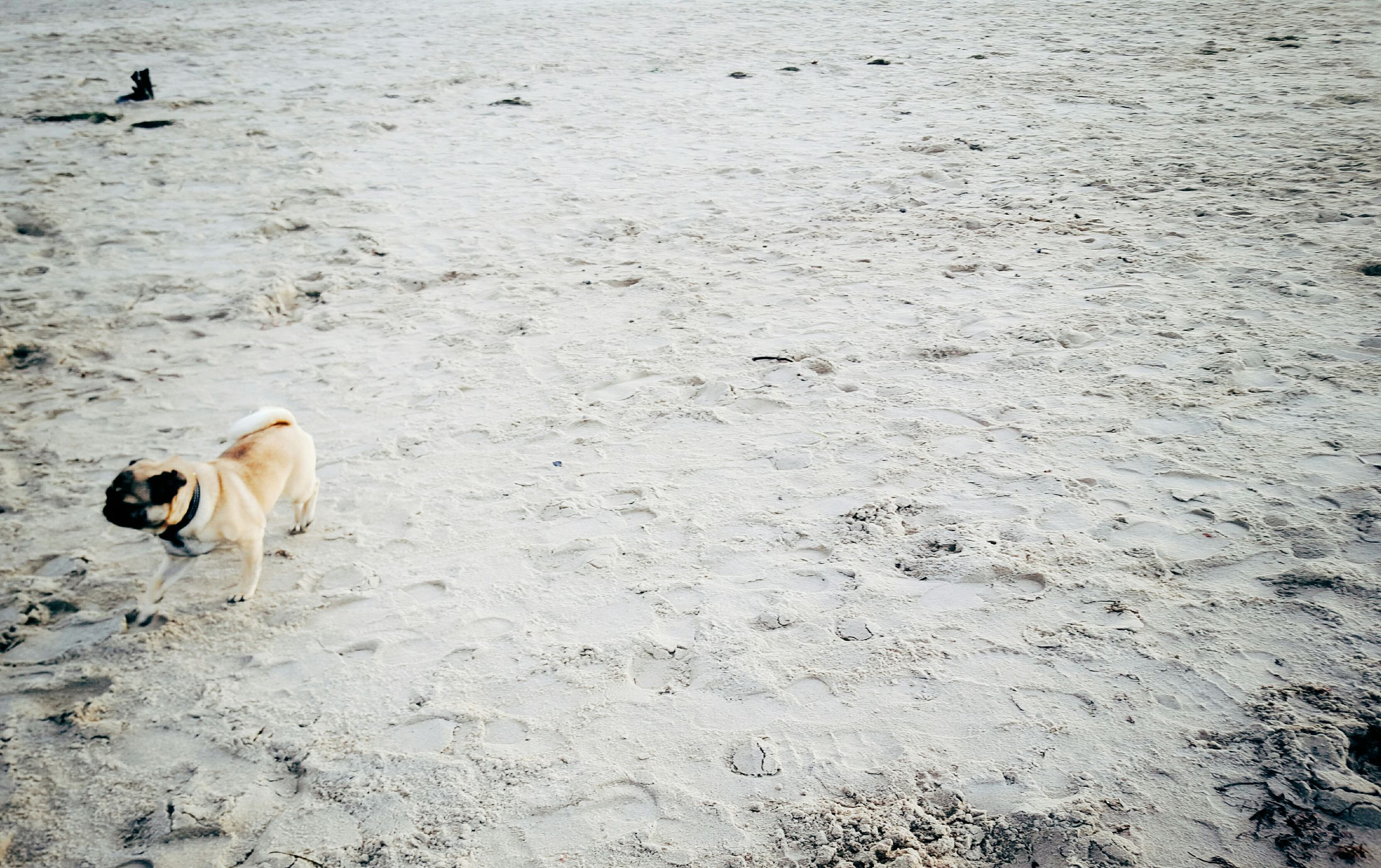 High angle view of pug on sand at beach