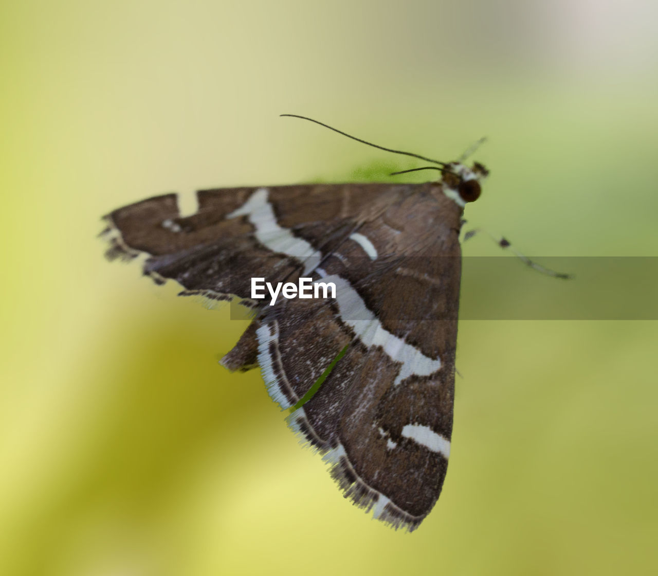 insect, invertebrate, one animal, animal wing, animal themes, animal wildlife, butterfly - insect, animal, animals in the wild, beauty in nature, close-up, no people, focus on foreground, nature, day, animal body part, moth, full length, butterfly, animal antenna