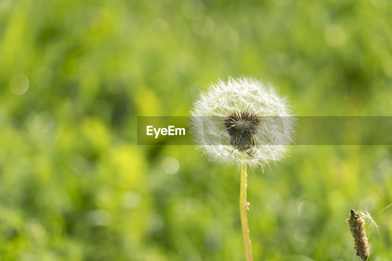 plant, flower, fragility, flowering plant, vulnerability, freshness, dandelion, beauty in nature, growth, focus on foreground, close-up, nature, inflorescence, flower head, no people, green color, plant stem, day, softness, dandelion seed, outdoors