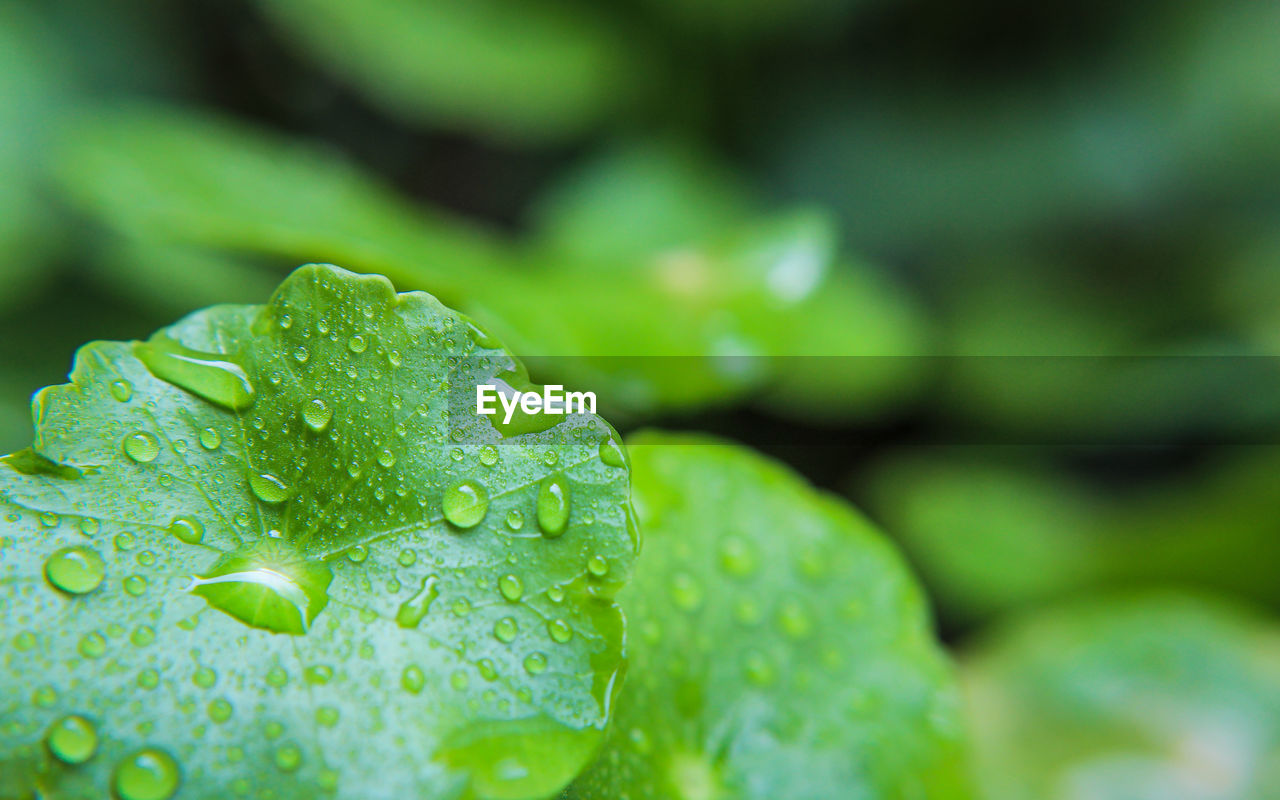 green color, drop, water, close-up, leaf, freshness, plant, wet, plant part, beauty in nature, nature, growth, no people, selective focus, day, rain, focus on foreground, outdoors, dew, raindrop, rainy season, leaves, purity