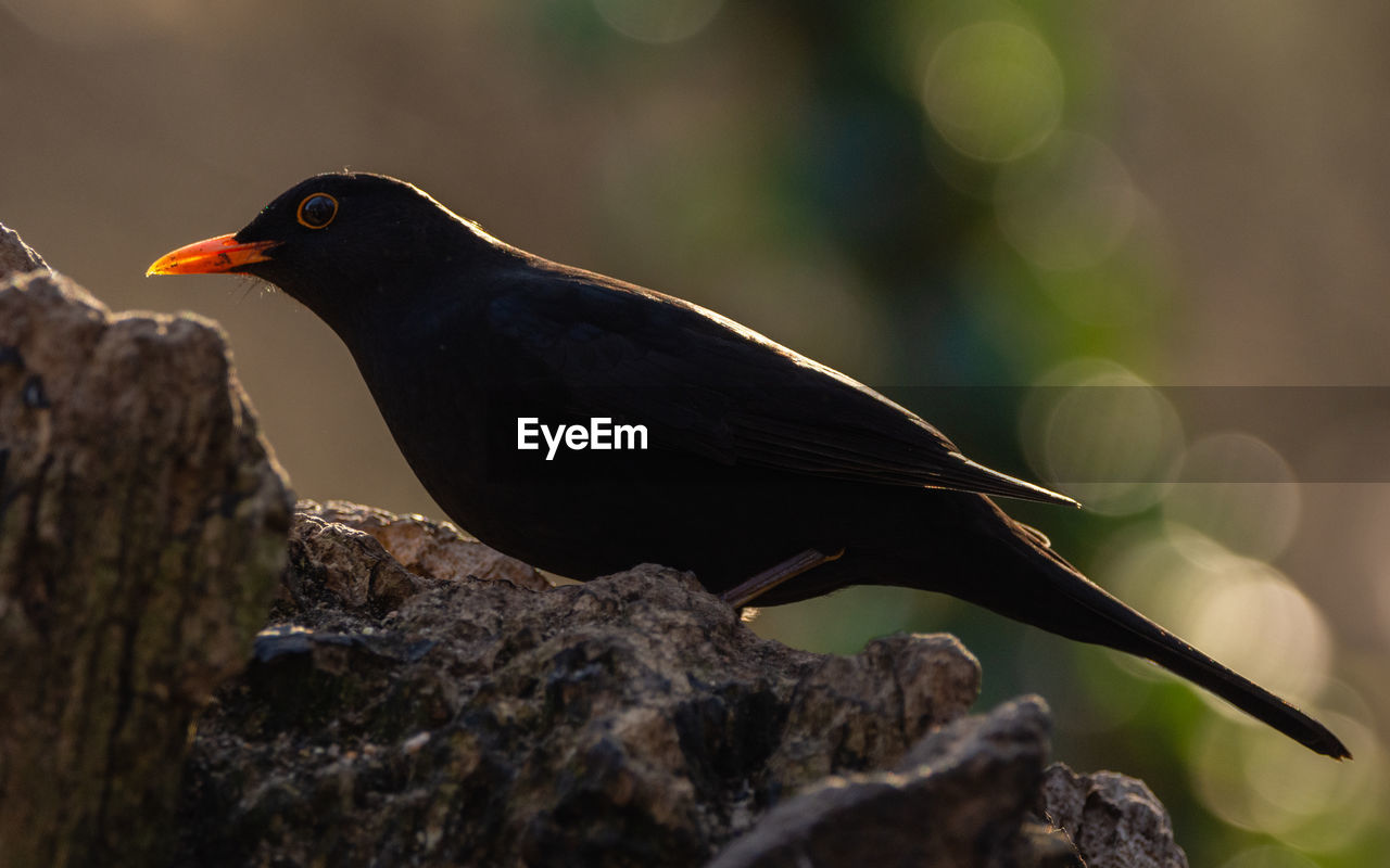 bird, animal themes, animal, vertebrate, animals in the wild, perching, animal wildlife, one animal, focus on foreground, tree, day, no people, blackbird, nature, close-up, selective focus, black color, branch, outdoors, plant