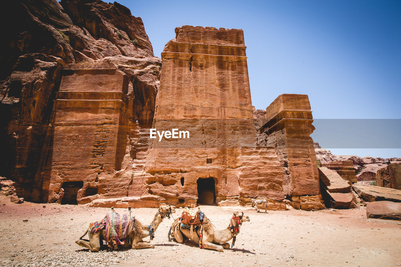 Camels resting against old ruins at desert