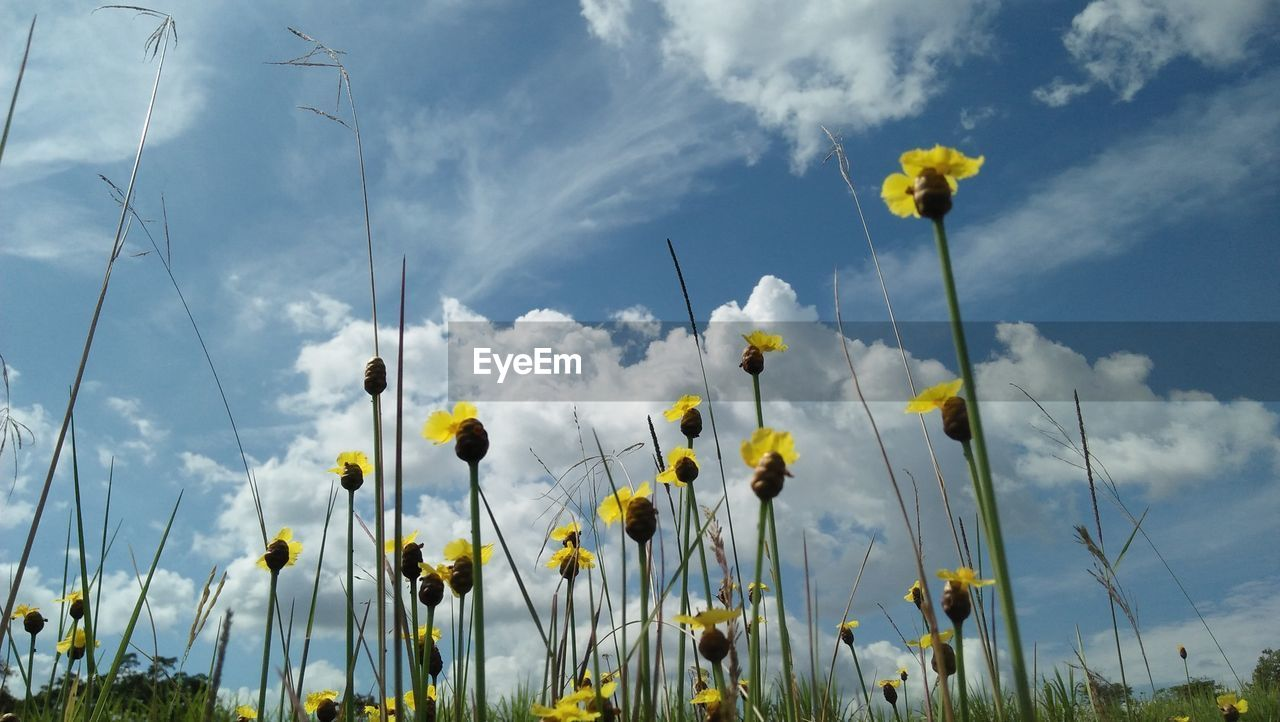 flower, flowering plant, plant, cloud - sky, sky, yellow, beauty in nature, freshness, growth, vulnerability, nature, fragility, field, no people, day, land, plant stem, close-up, low angle view, flower head, outdoors