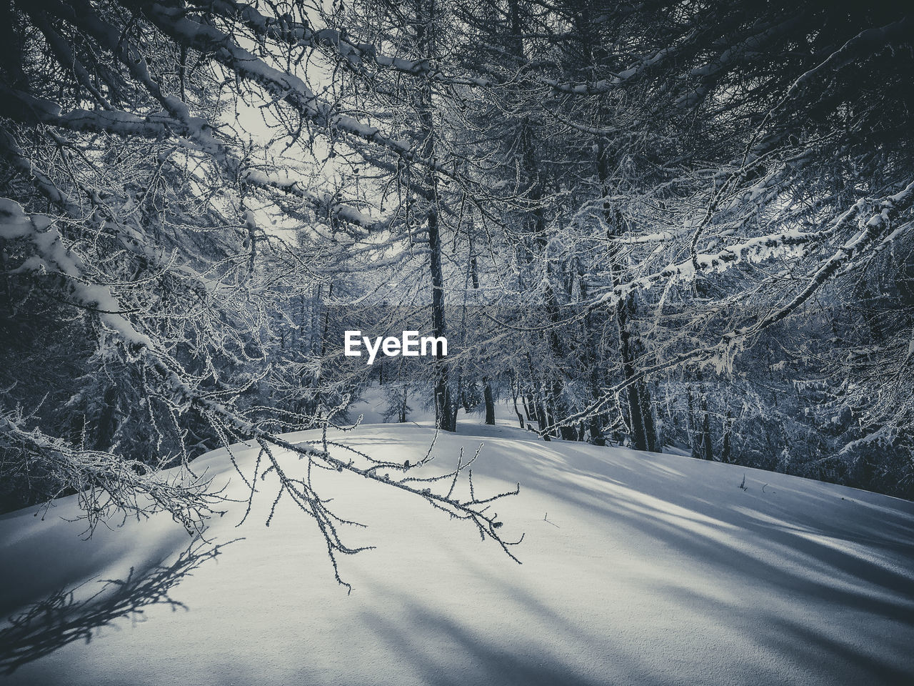 SNOW COVERED LAND TREES IN FOREST
