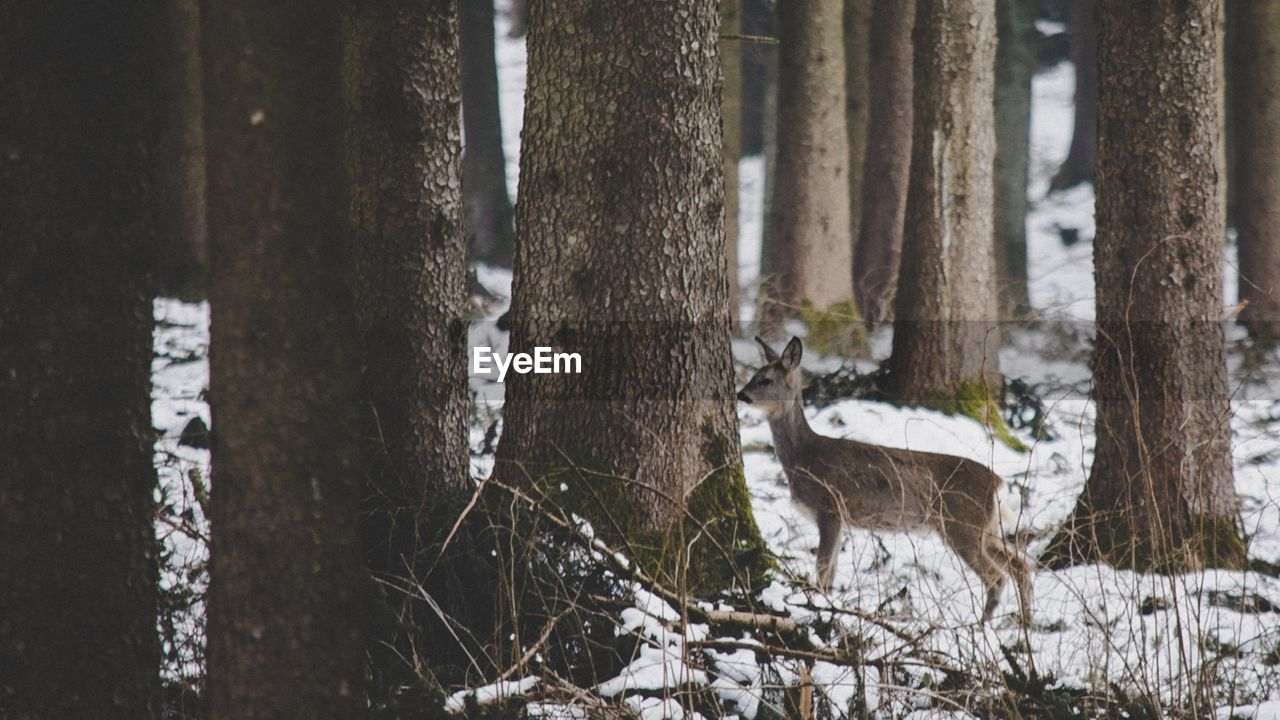 animal themes, tree trunk, animals in the wild, winter, animal wildlife, snow, forest, day, no people, one animal, nature, cold temperature, outdoors, tree, mammal