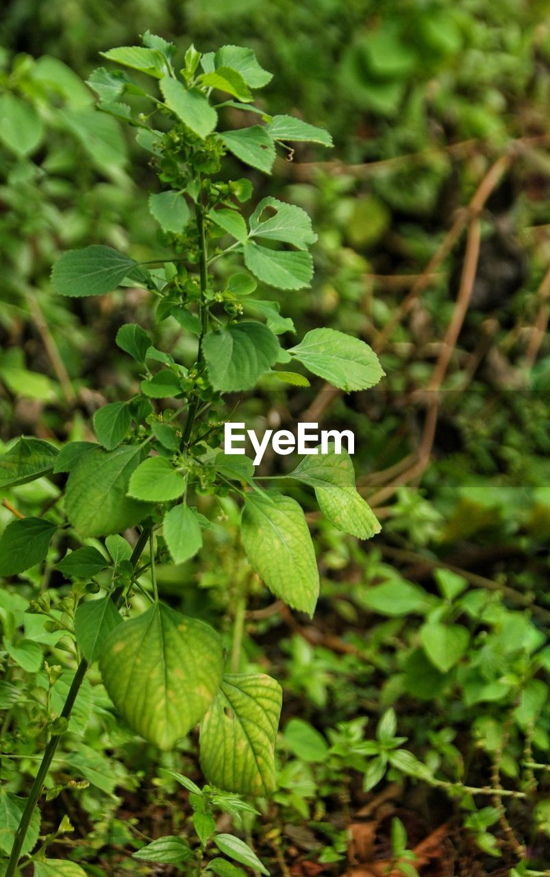 growth, green color, plant, nature, leaf, green, no people, field, focus on foreground, outdoors, beauty in nature, close-up, day, freshness