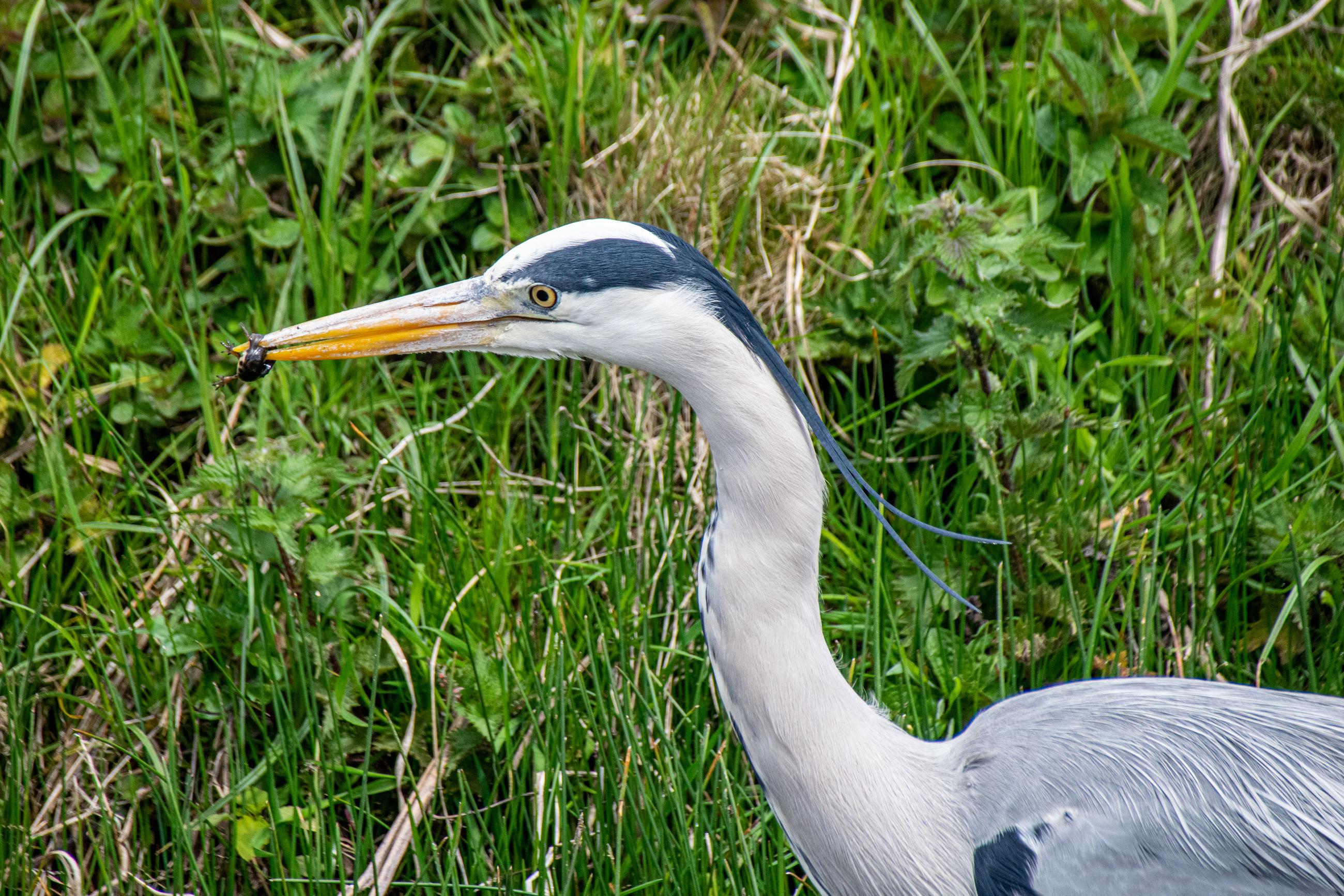 Grey heron, ardea cinerea, hunting a common newt, lissotriton vulgaris, in shallow river water