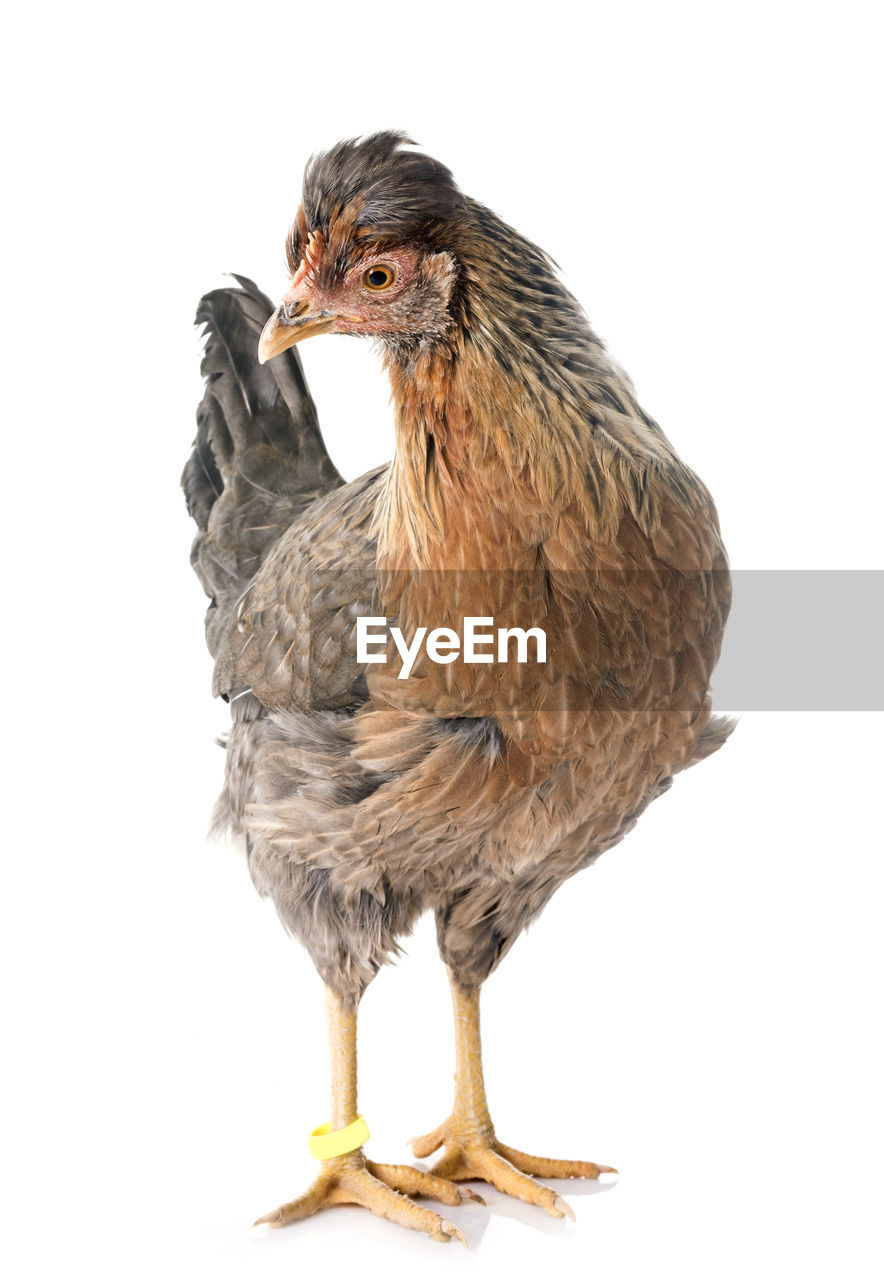 studio shot, animal themes, animal, vertebrate, white background, one animal, bird, cut out, animal wildlife, indoors, close-up, no people, animals in the wild, copy space, bird of prey, looking, looking away, front view, full length, nature