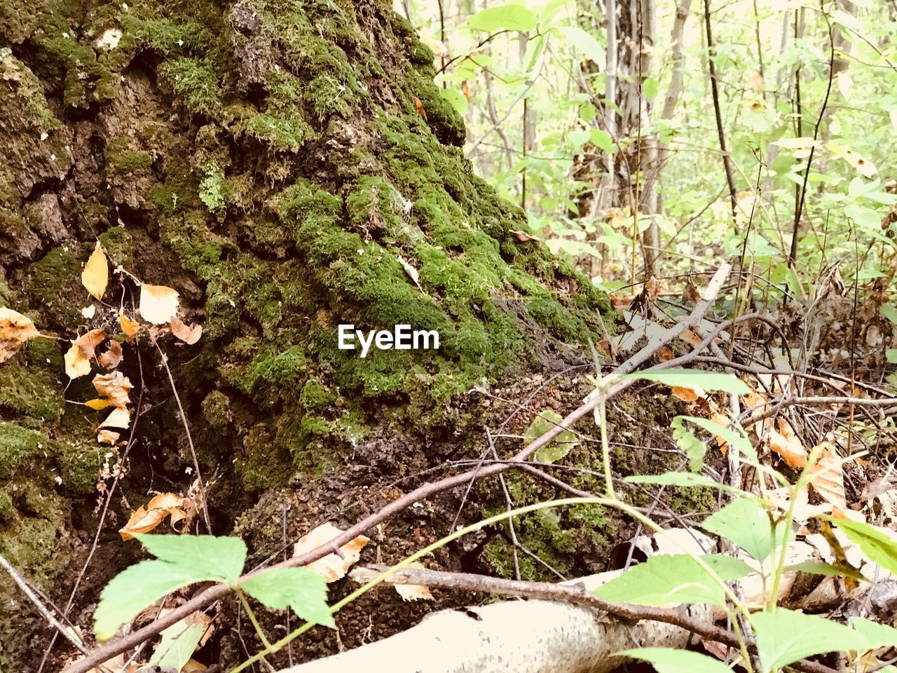 plant, growth, tree, forest, land, nature, no people, day, plant part, leaf, tranquility, beauty in nature, green color, tree trunk, trunk, moss, close-up, outdoors, focus on foreground, field