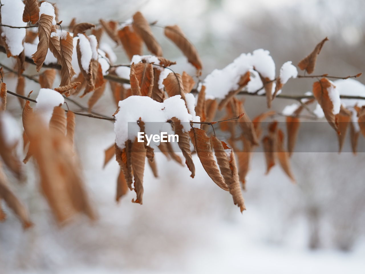 CLOSE-UP OF SNOW ON DRY LEAVES