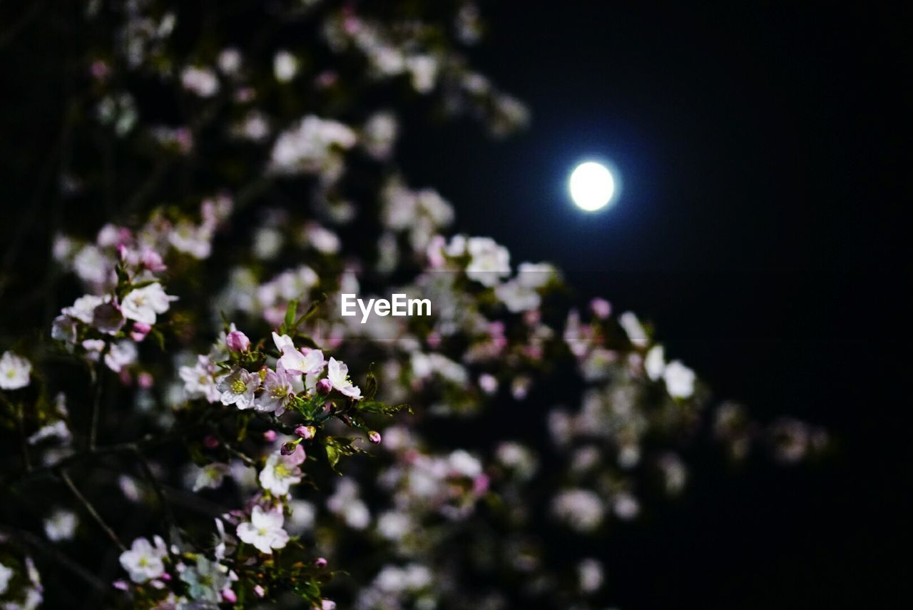flower, nature, beauty in nature, moon, night, fragility, no people, growth, outdoors, freshness, close-up, tree, sky